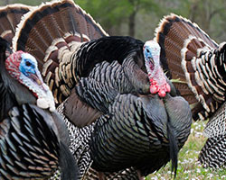 PURPLE HEART RECIPIENTS TO ENJOY LOCAL TURKEY HUNT